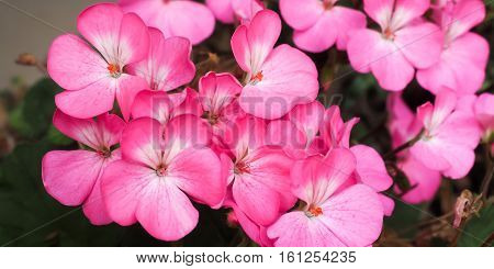 Large clump of bright pink and white Pelargonium flowers up close.
