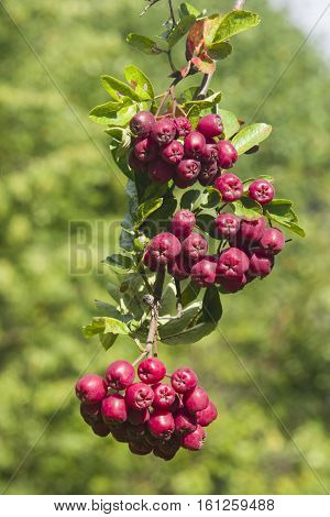Purple berries on Aronia or chokeberry hybrid branch close-up with bokeh background selective focus shallow DOF