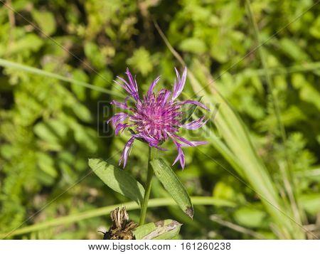 Blooming Brown Knapweed Centaurea jacea macro selective focus shallow DOF