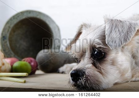 close up short hair mixed breed puppy (Shih-Tzu / Schnauzer) with mortar (Thai kitchenware) and Thai spice