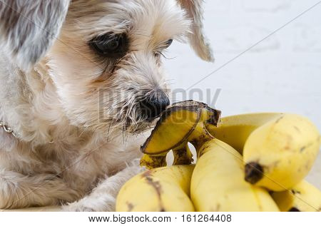 Close up mixed breed dog ( Shih-Tzu / Schnauzer ) sniffing brunch of banana.