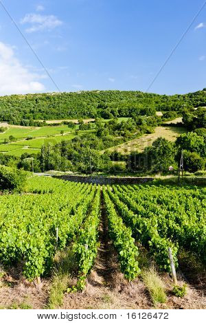 vineyard near Pouilly-Fuisse, Burgundy, France