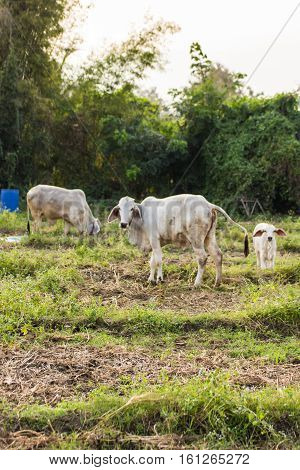 thai cow in field , mammal animal
