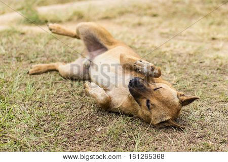 thai stray dog in dry grass , pet