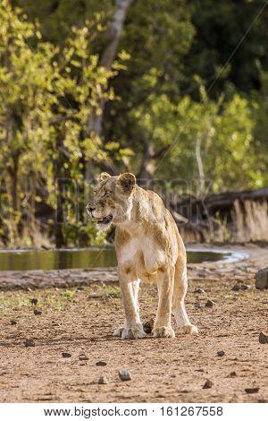 lioness defecating in savannah in Kruger park