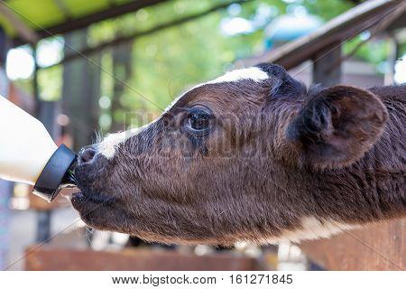 Little Cow Feeding From Milk Bottle In Farm