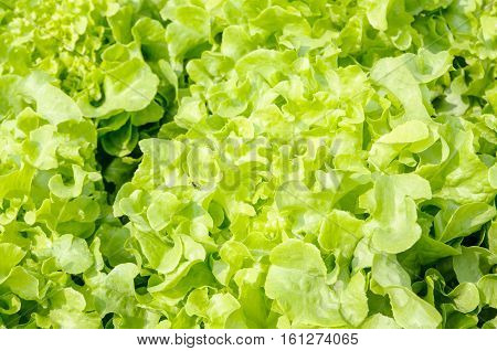 Close up fresh green lettuce leaves background