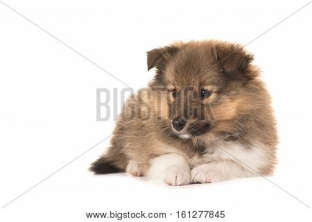 Shetland sheepdog puppy lying down looking to the left isolated on a white background