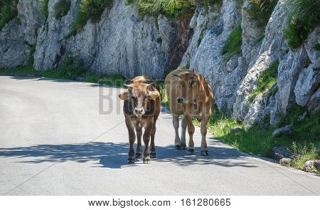 Closeup of cows in the middle of mountain road