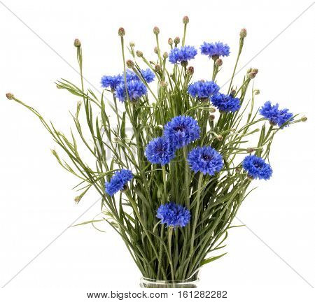Blue Cornflower Herb or bachelor button flower bouquet isolated on white background cutout