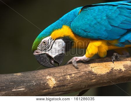 Blue yellow macaw bird at a bird sanctuary in India. This bird is found in the subtropical and tropical dry and moist lowland forests and swamps.