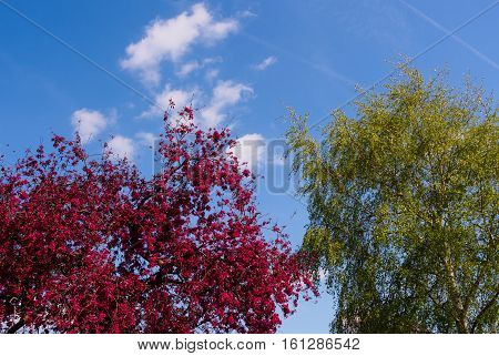 Bright cerise crab apple blossom and new green leaves of a silver birch tree set against a blue sky and wispy clouds.