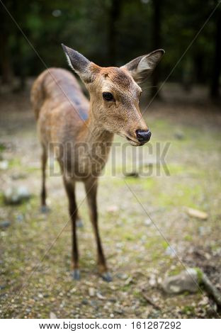 Roe deer in Nara park
