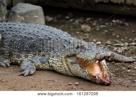 Crocodile bleeding on mouth