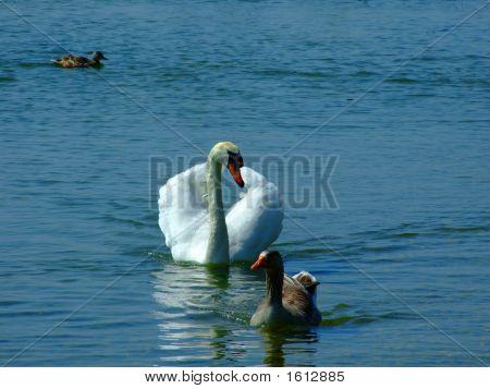 A swan at