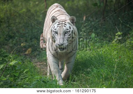 White Indian tiger walks through an open grassland at a tiger reserve in India. These species of Bengal tigers are considered endangered and measures are being taken to preserve these creatures.