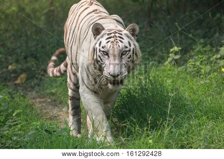 White tiger walking through an open grassland at a tiger reserve in India. (Close up). These species of Bengal tigers are considered endangered in the world today.