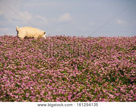 Sheep grazing in a field of clover near Melbourne in Derbyshire.