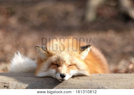 A red fox sleeping with a smily face.