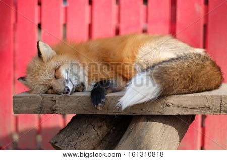 A lovely red fox sleeping peacefully :)