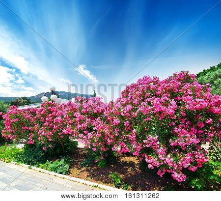 Beautiful blooming pink oleander on a seafront