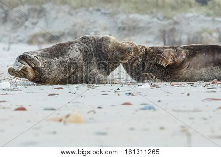 seals fight on dune island near helgoland, wild ocean, marine wildlife, germany, helgoland and dune, a lot of seals, new life comes
