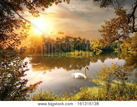 Swan on the pond in the evening