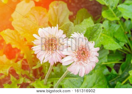 flower Gerbera pink and water drop Barberton daisy Daisy fromSouth Africa. with sunset light tone.