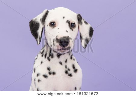 Portrait of a cute black and white dalmatian puppy dog on a lavender purple background facing the camera