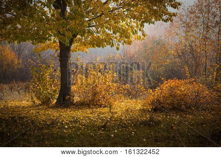 Autumn. Yellow wild cherry on the edge of the forest morning