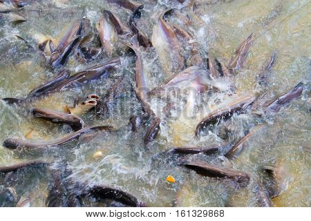 the pangasius in the river many fish competing for foodPangasius fish eating and snatching.Sawai fish - selective focus
