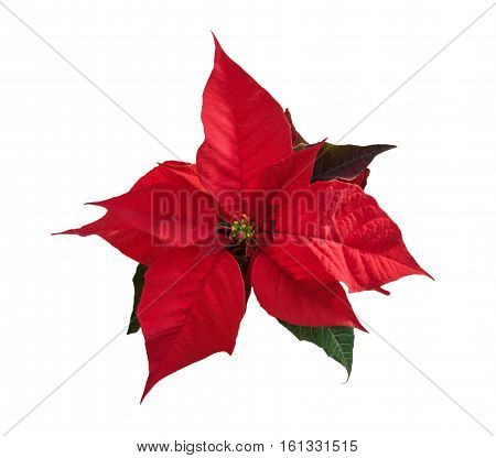 Beautiful red poinsettia flower (Euphorbia pulcherrima) isolated over white. Christmas symbol. Top view.