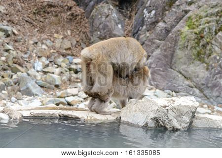 Monkey in a natural onsen (hot spring) located in Jigokudani Monkey Park or Snow Monkey Nagono Japan.