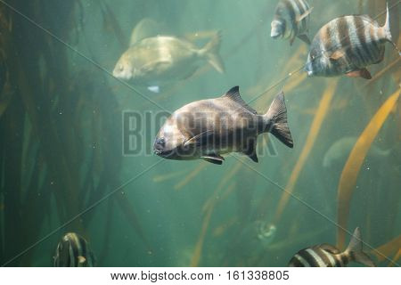 Close up view of the south african national fish, the galjoen swimming in a kelp forest of the coast of cape town