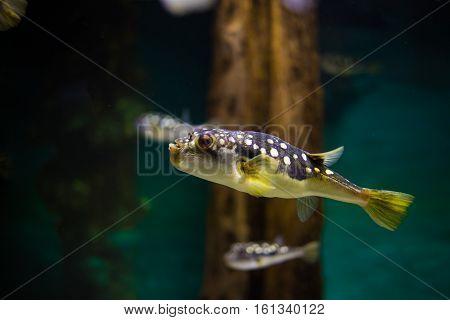 Close up of a pufferfish in an aquarium
