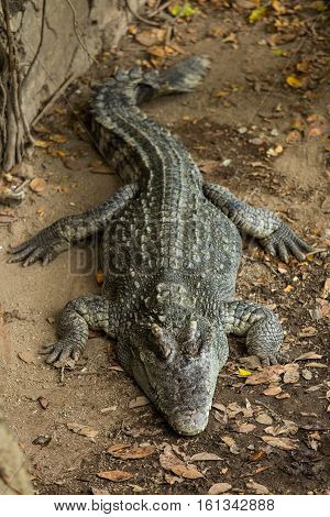 Crocodiles In A Crocodiles Farmasia Thailand .