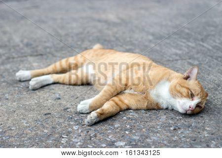 Stray Cat Sleep On Cement Ground