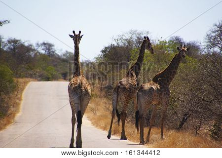a group of giraffes in Kruger National Park is walking on the road