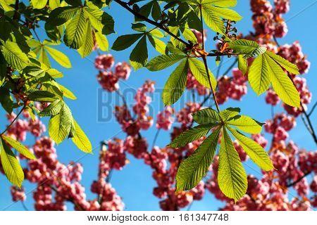 Horse chestnut leaves in spring against pink cherry blossom, blue sky background.