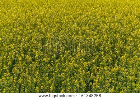 Blooming canola field - Rape on the field in summer season