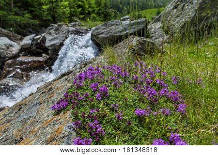 Wild Thyme Thymus with waterfall as background. The thyme polytrichus is commonly used in cookery and in herbal medicine.