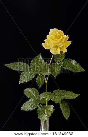 Closeup on a yellow rose on a black background