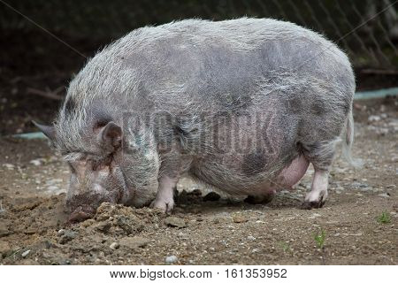Pot-bellied pig (Sus scrofa domesticus). Domestic animal.