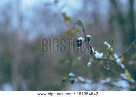 frozen bunch of black berries in witer park