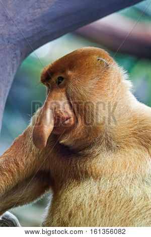 Proboscis monkey in park - animal background