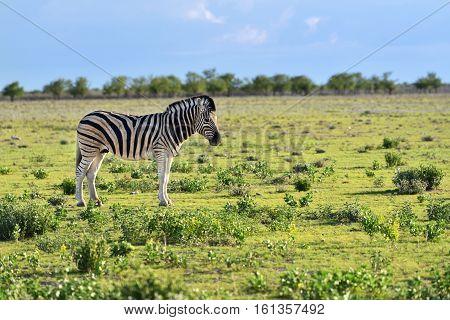 Damara zebra foal under morning sunbeams Equus burchelli Etosha national park Namibia