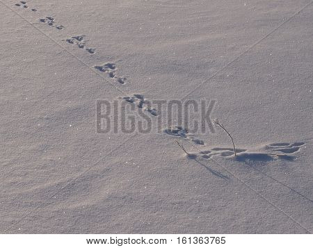 Hot scent in the field on snow of a hare of a hare