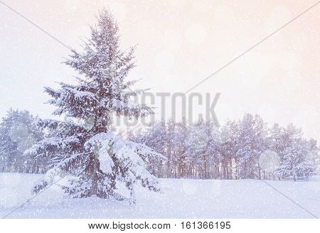 Winter landscape - snowy fir tree in the winter forest under falling winter snow in cold winter evening. Winter forest scene with falling winter snowflakes