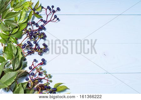 Frame made of wild grapes on blue wooden background with copy space. Leaves of wild grapes and berries. Maiden grapes.