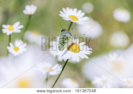 small butterfly on white wild daisy flower